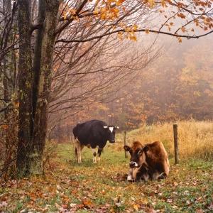 FS Cows
